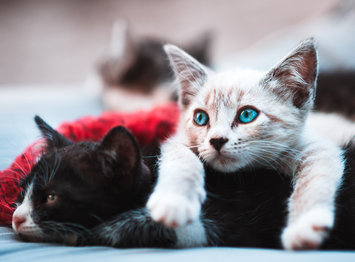 Effective Flea Treatments For Cats