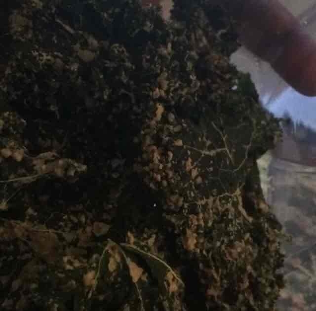 ChocolaTree Kale Chips - Raw (3 Oz.) - Vegan Cheddar uploaded by Christy R.