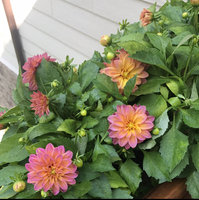 Miracle Gro Pro Bloom Booster (136001) uploaded by Jamie T.