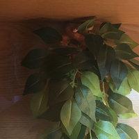 Exo-terra Exo Terra Silk Terrarium Plant - Ficus uploaded by Nicola V.