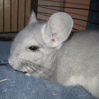 Oxbow POOF! Blue Cloud Chinchilla Dust uploaded by Sarah M.