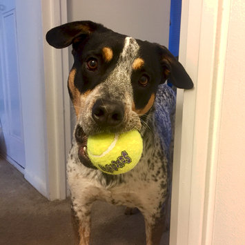 Photo of KONG AirDog Squeaker Tennis Ball uploaded by Roxy O.