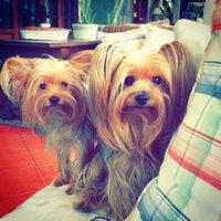 Royal Canin® Yorkshire Terrier 28™ Adult Dog Food 10 lb. Bag uploaded by mars L.