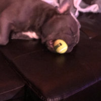 KONG AirDog Squeaker Tennis Ball uploaded by Sara S.