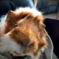 Midwest Pets Guinea Habitat uploaded by Rebekah S.
