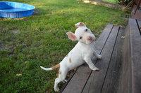 Nylabone Puppy Chews - 2 pack uploaded by Juliet T.
