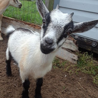 Manna Pro Goat Mineral 8 Pound - 00 uploaded by Leah H.