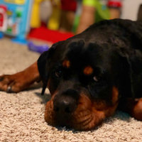 THE BLUE BUFFALO CO. BLUE™ Wilderness® Chicken For Large Breed Puppies uploaded by Ashley M.