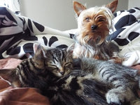 Royal Canin® Yorkshire Terrier 28™ Adult Dog Food 10 lb. Bag uploaded by Alicia D.