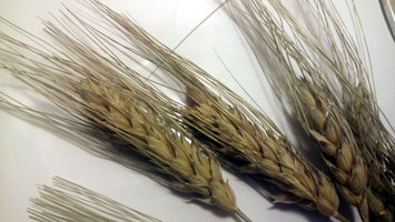 Photo of Fm Browns Inc Tropical Carnival Wheat Sprays Treat Size: 1.5 Ounce. uploaded by Charnita F.
