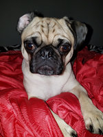 Primal Pet Foods Raw Dog Beef Nuggets 3 lbs uploaded by member-b346c