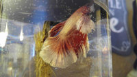 Omega One Betta Buffet Fish Flakes uploaded by stacy h.