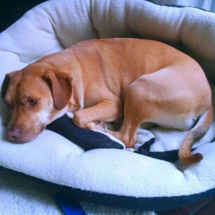 Photo of KONGA Comfort Dog Harness & Traffic Loop uploaded by Christen J.