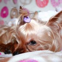 Royal Canin® Yorkshire Terrier 28™ Adult Dog Food 10 lb. Bag uploaded by Kirsten C.