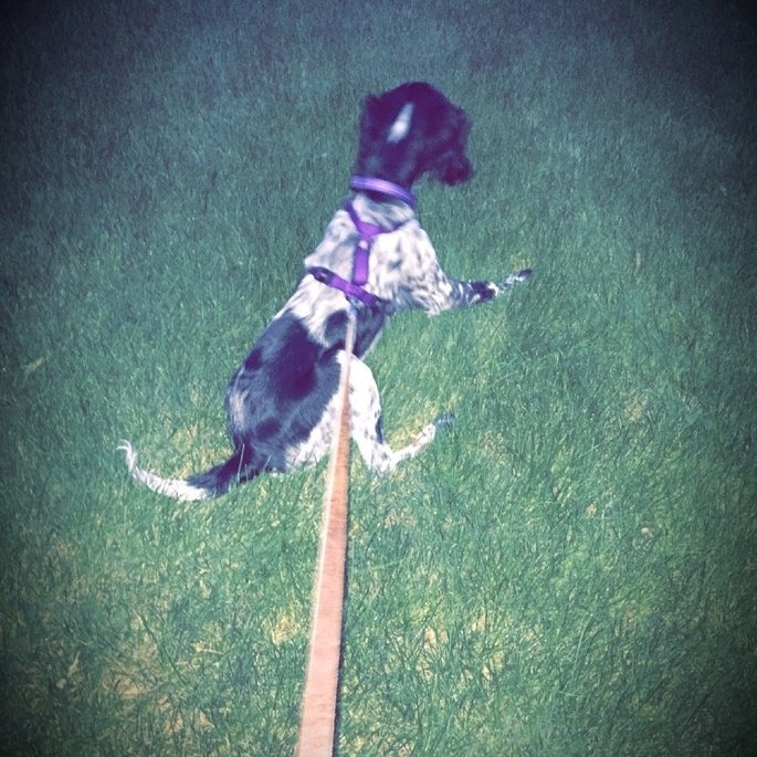 KONGA Comfort Dog Harness & Traffic Loop uploaded by Rachel S.