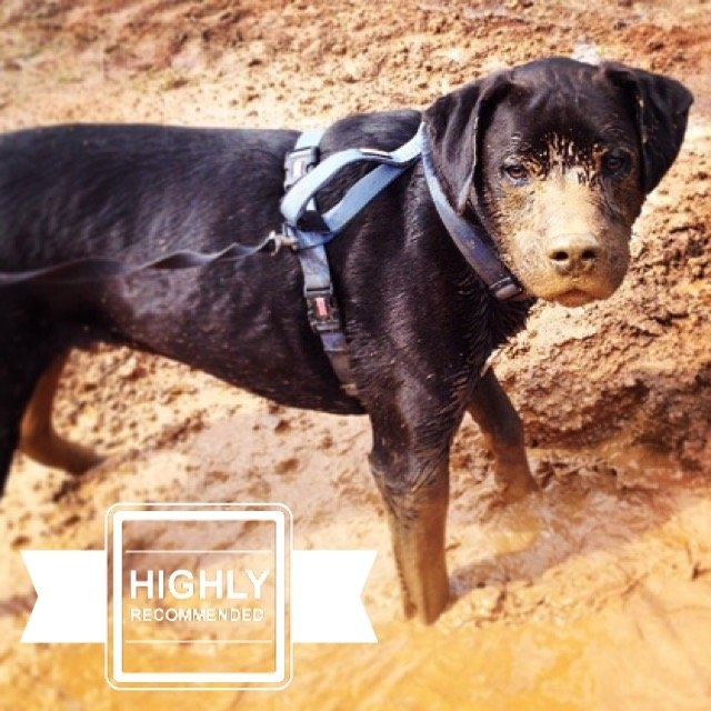 KONGA Comfort Dog Harness & Traffic Loop uploaded by Jessica H.