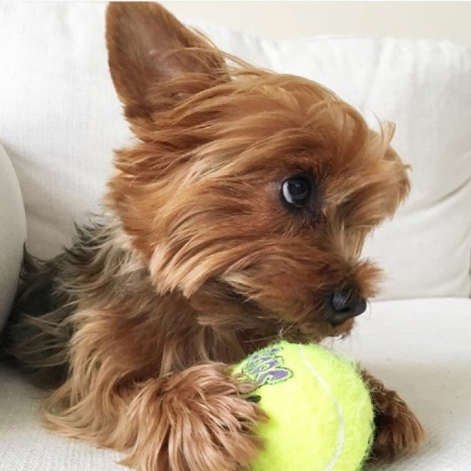 KONG AirDog Squeaker Tennis Ball uploaded by Alla Z.