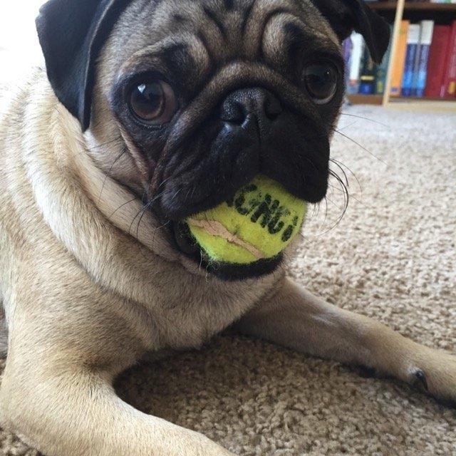 KONG AirDog Squeaker Tennis Ball uploaded by Ashley J.