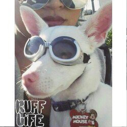 Photo of Doggles ILS Lense Dog Goggles in Skull uploaded by MariaPaula S.
