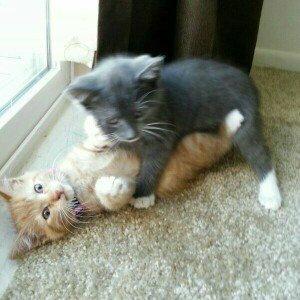 Photo of Soft Claws Black Medium 9-13 LBs Cat Nail Caps uploaded by Katelynn G.