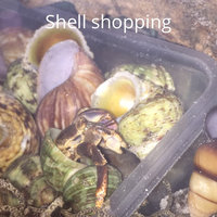 All Living ThingsA Decorative Hermit Crab Shell uploaded by Debrann M.
