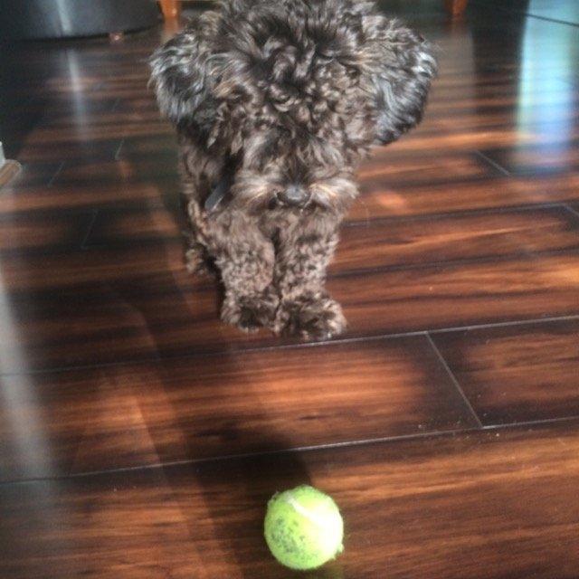 KONG AirDog Squeaker Tennis Ball uploaded by Jordan H.