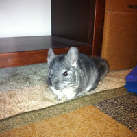 Super Pet Chinchilla Chin-Chiller Granite Stone uploaded by Bonni N.