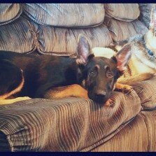 Eukanuba Breed Specific Adult German Shepherd Dog Food 30 lb. Bag uploaded by Amanda D.