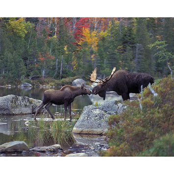 Taylor Gifts White Mountain Kissing Moose 1000 Pc Jigsaw Puzzle