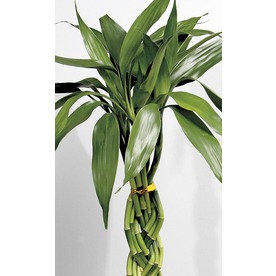1-Count Lucky Bamboo (L20953HP) NURSERY