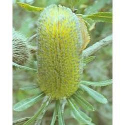 Australian Bush - Flower Essences, Old Man Banksia, 15 ml