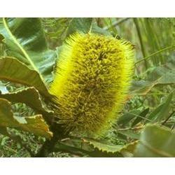 Australian Bush - Flower Essences, Banksia Robur, 15 ml