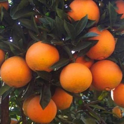 Navel Oranges: A Box of Sunshine from Organic Mountain