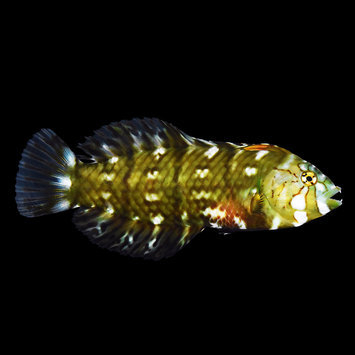 Dragon Wrasse - Small (1.5