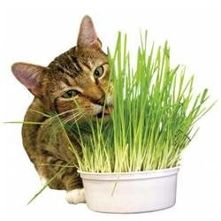 Imperial Cat 00121 Easy Grow Oat Grass Kit