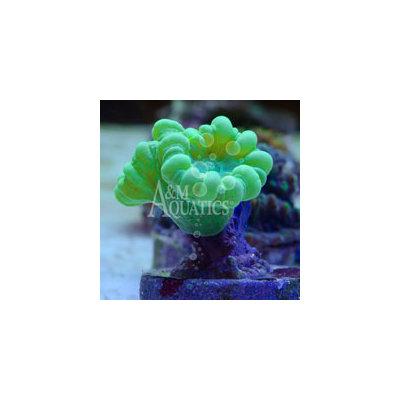 Neon Green Caulastrea Coral (Aquacultured A & M Aquatics) ()