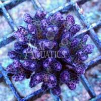 Pink Pocillopora (Aquacultured A & M Aquatics) ()