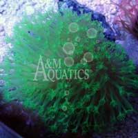 Metallic Green Toadstool (Aquacultured A & M Aquatics) ()