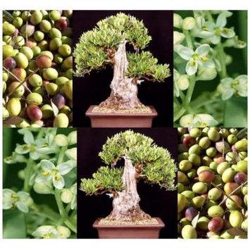 5 OLIVE TREE Olea europaea Seeds BONSAI & Variety from Italy
