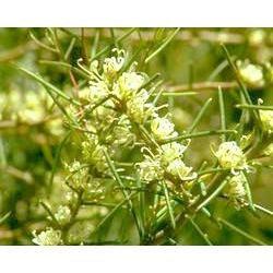 Australian Bush - Flower Essences, Dagger Hakea, 15 ml