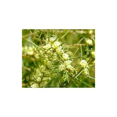 Australian Bush - Flower Essences, Dagger Hakea, 15 ml