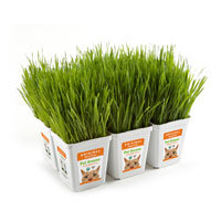 Bell Rock Growers Pet Greens Original Pet Grass, Pack of 6