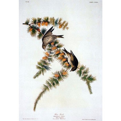 Olde Time Mercantile Audubon Pine Finch Bird Art Print - 7 in x 10 in Unmatted