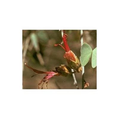 Australian Bush - Flower Essences, Bauhinia, 15 ml