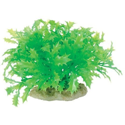 Pure Aquatic Natural Elements Water Holly - Mound - 5-6 in.