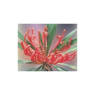 Australian Bush - Flower Essences, Monga Waratah, 15 ml