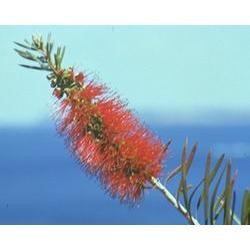 Australian Bush - Flower Essences, Bottlebrush, 15 ml