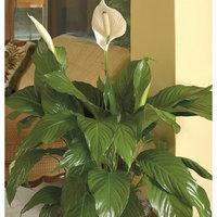 1.9-Quart Peace Lily (L20977HP) SPAT6WW