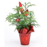 15-oz Norfolk Pine (ARD4) NURSERY