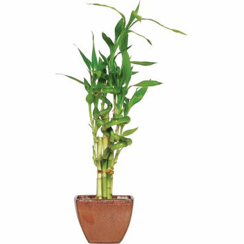 Brussel's Bonsai Plants 6 in. 7-Stalk Curly Bamboo in Red Container DT-0138LB7C